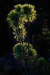 Native NZ cabbage tree
