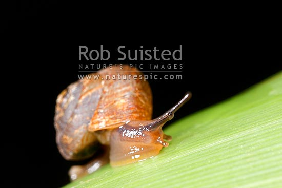 NZ native micro-snail at night on flax leaf (Thalassohelix zelandiae (Gray); Charopidae: Phenacohelicinae). Shell approx. 8mm across, Mana Island, New Zealand (NZ) stock photo.