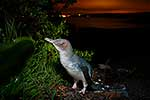 Little Blue Penguin at night