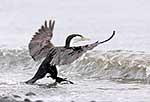 NZ Pied Shag jumping wave