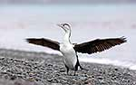 Native Pied Shag drying wings