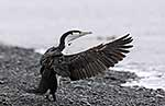 Pied shag flapping wings