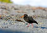 Variable Oystercatcher on beach