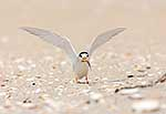 Rare New Zealand Fairy Tern