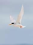 NZ Fairy Tern flying