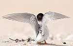 New Zealand Fairy Tern