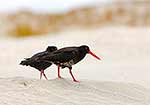 Variable Oystercatchers