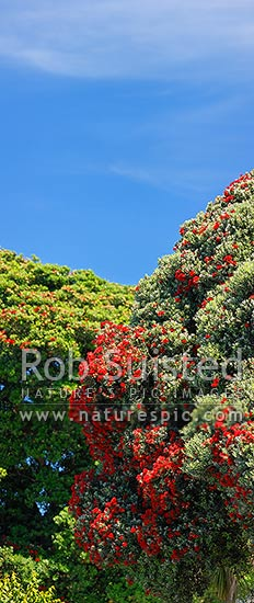 Pohutukawa tree flowers (Metrosideros excelsa). Flowering at Christmas time. Known as New Zealand Xmas tree. Very large mural file. Vertical panorama, New Zealand (NZ) stock photo.
