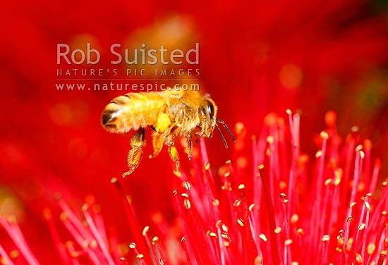 European Honey Bee (Apis mellifera) visiting and collecting nectar and pollen from Pohutukawa tree flowers (Metrosideros excelsa), New Zealand (NZ) stock photo.