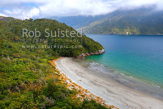 Thompson Sound in a remote part of Fiordland World Heritage area site. Forest and beach with native Pingao grass (golden sand sedge, Desmoschoenus spiralis). Secretary Island behind, Thompson Sound, Fiordland National Park, Southland District, Southland Region, New Zealand (NZ) stock photo.