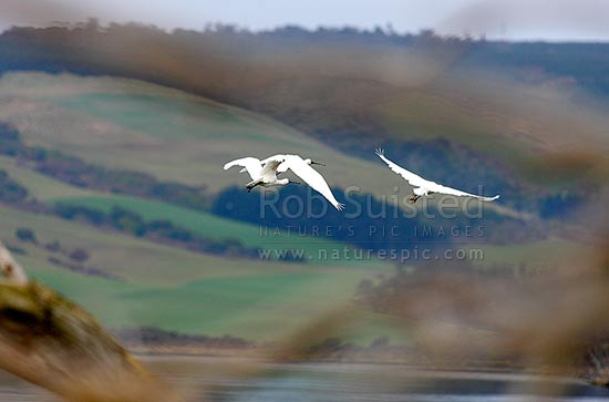 Flock of Royal Spoonbills. Birds flying across wetland estuary (Platalea regia - Threskiornithidae), New Zealand (NZ) stock photo.