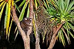 Possum in cabbage tree