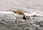 New Zealand Native Shore Plover