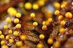 Slime mould fruiting bodies