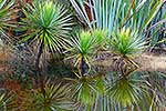 NZ cabbage tree reflections