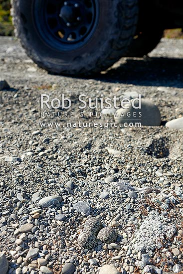 Banded dotterel nest and eggs set on open beach gravels, vulnerable to vehicles and predators (Charadrius bicinctus; Charadriidae), Pohowera, New Zealand (NZ) stock photo.