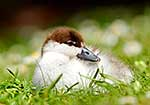 Native Paradise duck chick