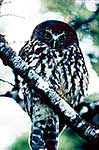 Morepork in beech forest