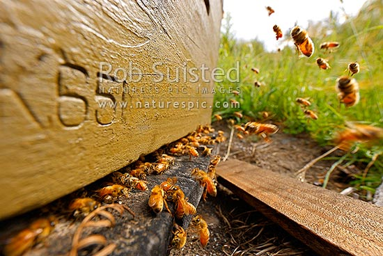 Honey bees flying in and out of commercial beekeeping beehives, collecting for honey production, Molesworth Station, Marlborough District, Marlborough Region, New Zealand (NZ) stock photo.