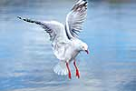 Red billed gull