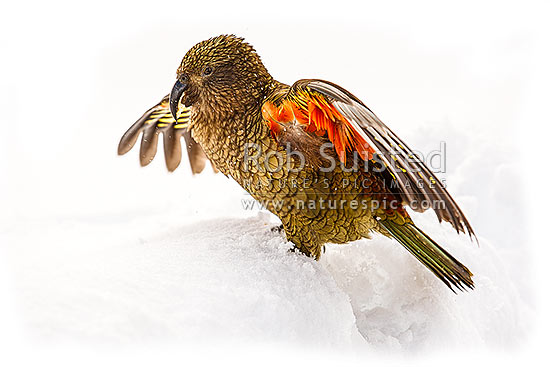 Kea bird standing in snow showing the orange coloured underside of its wings (Nestor notabilis), Arthur's Pass National Park, New Zealand (NZ) stock photo.