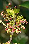Native Wineberry flowers
