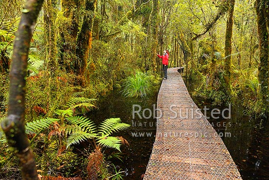 Ship Creek forest walking track and boardwalk through bush, tree ferns and wetland. Woman tourist visitor looking at trees. Ship Creek, Haast, Westland District, West Coast Region, New Zealand (NZ) stock photo.