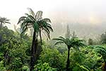 Tree ferns and forest