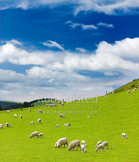 Sheep and spring lambs grazing on lush green grass pasture. Blue sky. Square format, Waipara, Canterbury, Hurunui District, Canterbury Region, New Zealand (NZ) stock photo.