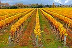 Grapevines in the Autumn