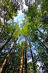 NZ Red Beech forest interior