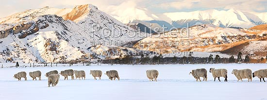 Sheep in snow panorama. Merinos and Cheviot or Perendale rams in high country winter snow, Castle Hill, Selwyn District, Canterbury Region, New Zealand (NZ) stock photo.