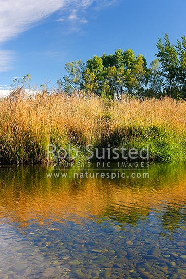 Summertime river with long grass, blue sky, reflections and golden colours. Whitestone River, Te Anau, Southland District, Southland Region, New Zealand (NZ) stock photo.
