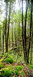 Red Beech forest - vertical panorama