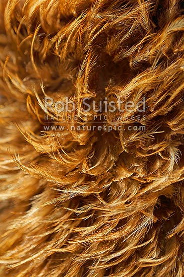 Brown Kiwi bird feathers woven in traditional Maori cloak. Korowai, Kahukiwi, Kahu kiwi or Kahu-kiwi, New Zealand (NZ) stock photo.