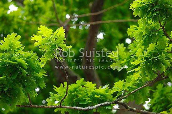 Oak tree leaves. New growth and leaf patterns in foliage. Quercus species, New Zealand (NZ) stock photo.