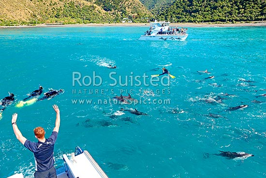 Dolphin swimming with Dusky dolphins. Dolphin Encounter boats, swimmers and viewers enjoying hundreds of dolphins, Kaikoura, Kaikoura District, Canterbury Region, New Zealand (NZ) stock photo.