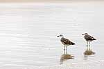 Juvenile black backed gulls