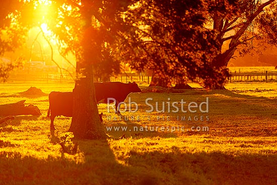 Dairy cows grazing amongst trees in evening sunlight, South Wairarapa District, Wellington Region, New Zealand (NZ) stock photo.