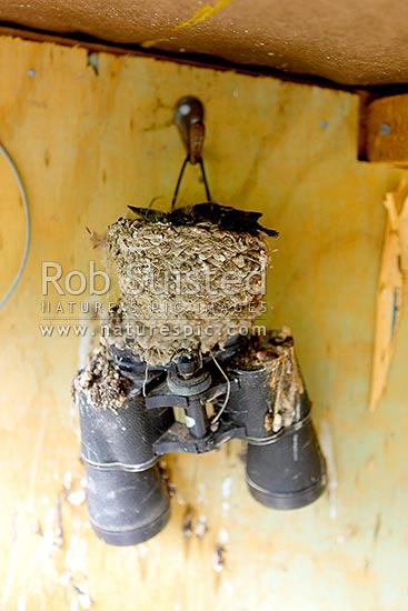 Welcome swallow bird nesting on an old pair of binoculars (Hirundo tahitica neoxena), New Zealand (NZ) stock photo.