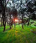 Manuka forest sunset