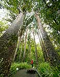 Giant Kauri trees walk, Kerikeri