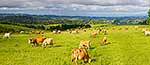 Northland diary cattle