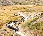 Cattle muster, Molesworth Road