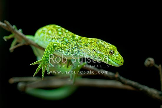Lewis Pass green gecko, or West Coast green Gecko, or Mossy Green gecko (Naultinus tuberculatus, previously known as Naultinus poecilochlorus). New Zealand endemic lizard, New Zealand (NZ) stock photo.