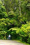 kauri forest walk, Northland