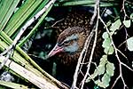 Weka in the bushes
