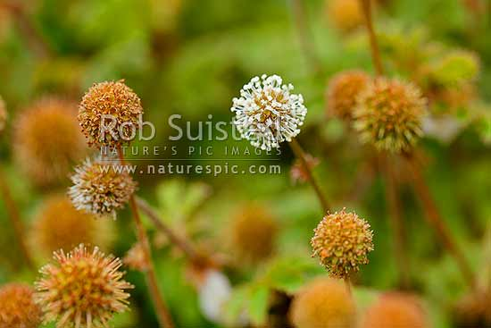 Biddy biddy, bidibidi, Bidi-bidi, Piripiri in flower and or seed heads and burrs (Acaena novae-zelandiae), New Zealand (NZ) stock photo.