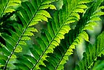 King Fern fronds