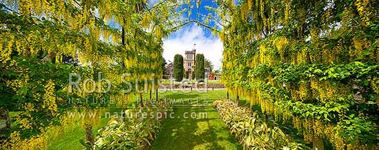 Larnach's Castle through the flowering laburnum arch. Historic building built by William Larnach 1871-1876. Otago Peninsula. Panorama, Otago Peninsula, Dunedin City District, Otago Region, New Zealand (NZ) stock photo.